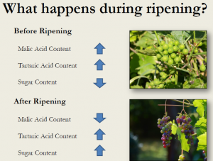 Image shows what happens while grapes ripen.